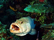 Tiger-Grouper-at-Cleaning-Station