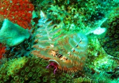 Christmas-Tree-Worm-M0016410