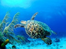 Tortuga Divers Cayman 1423237692Turtle.png